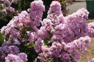 Lagerstroemia x fauriei 'Yuma' Crape Myrtle